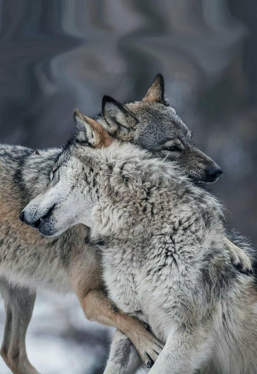 волки в обнимку картинка якутии