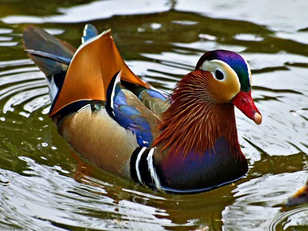 Плавающие птицы картинки