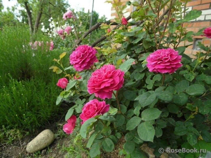 роза консул фото розебук защиту суде