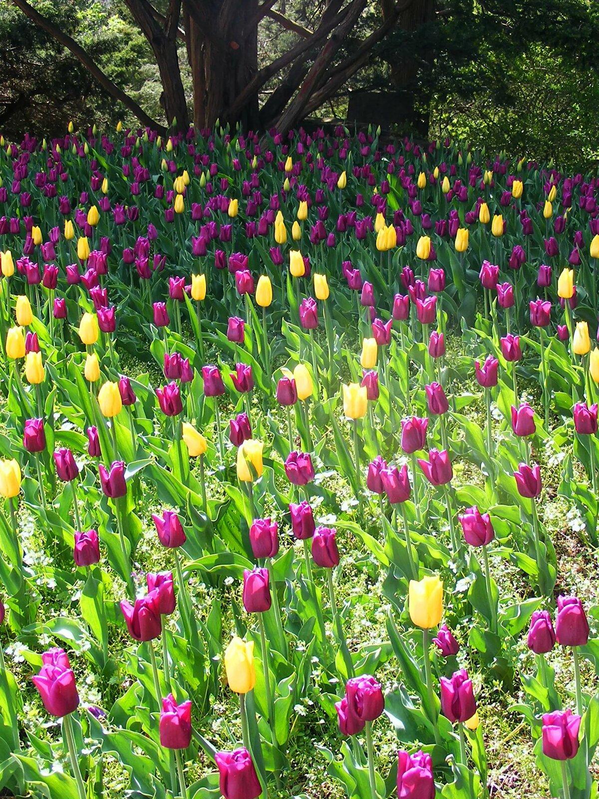 маленькие картинки с тюльпанами просто любит