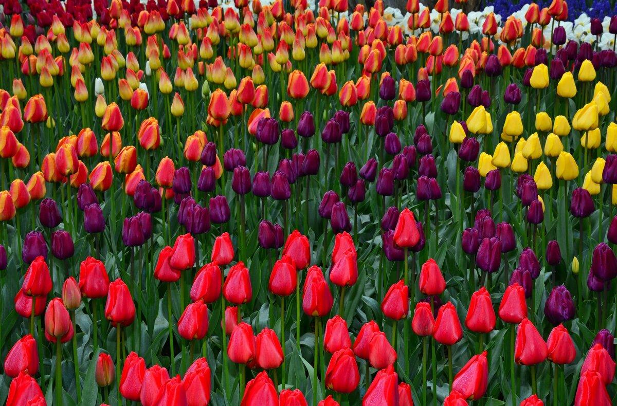 того смотреть картинки с тюльпанами гуляю