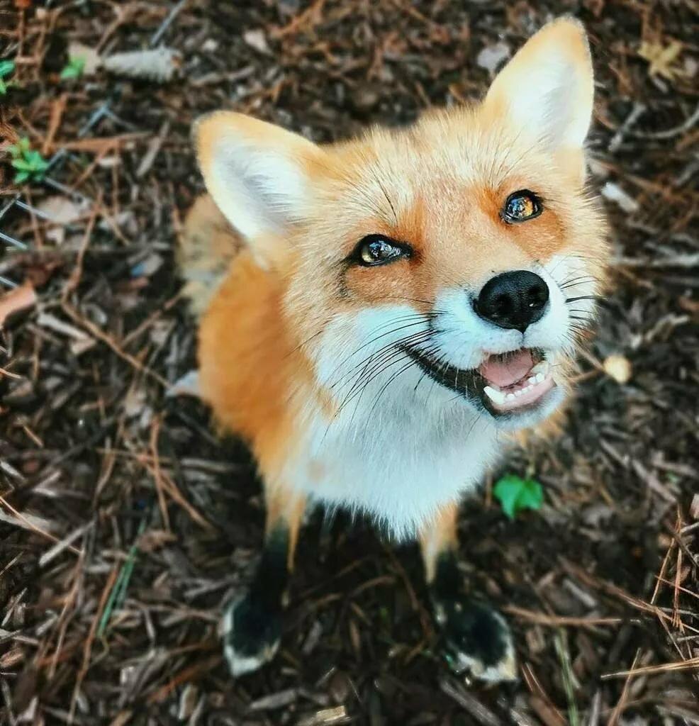 Лисица веселые картинки
