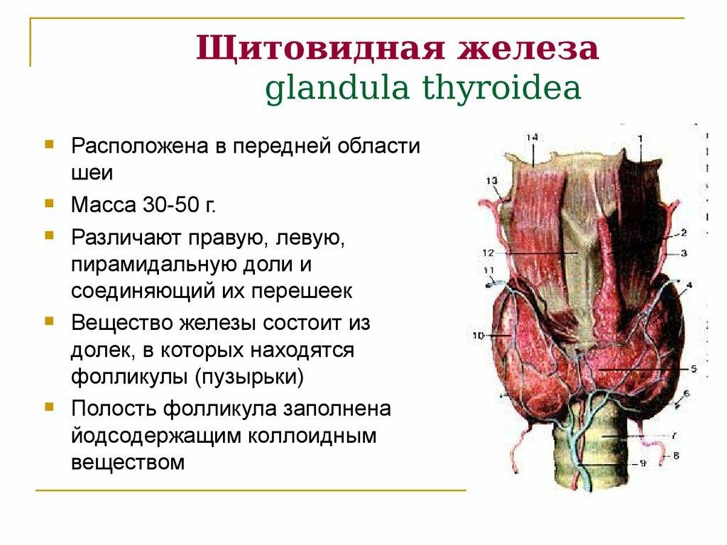 Щитовидная железа схематичный рисунок