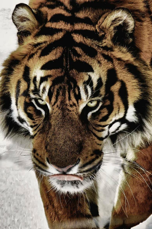 Картинки тигров красивые на аву
