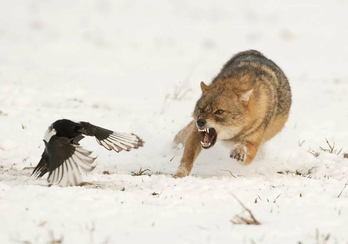 Картинки волка на охоте