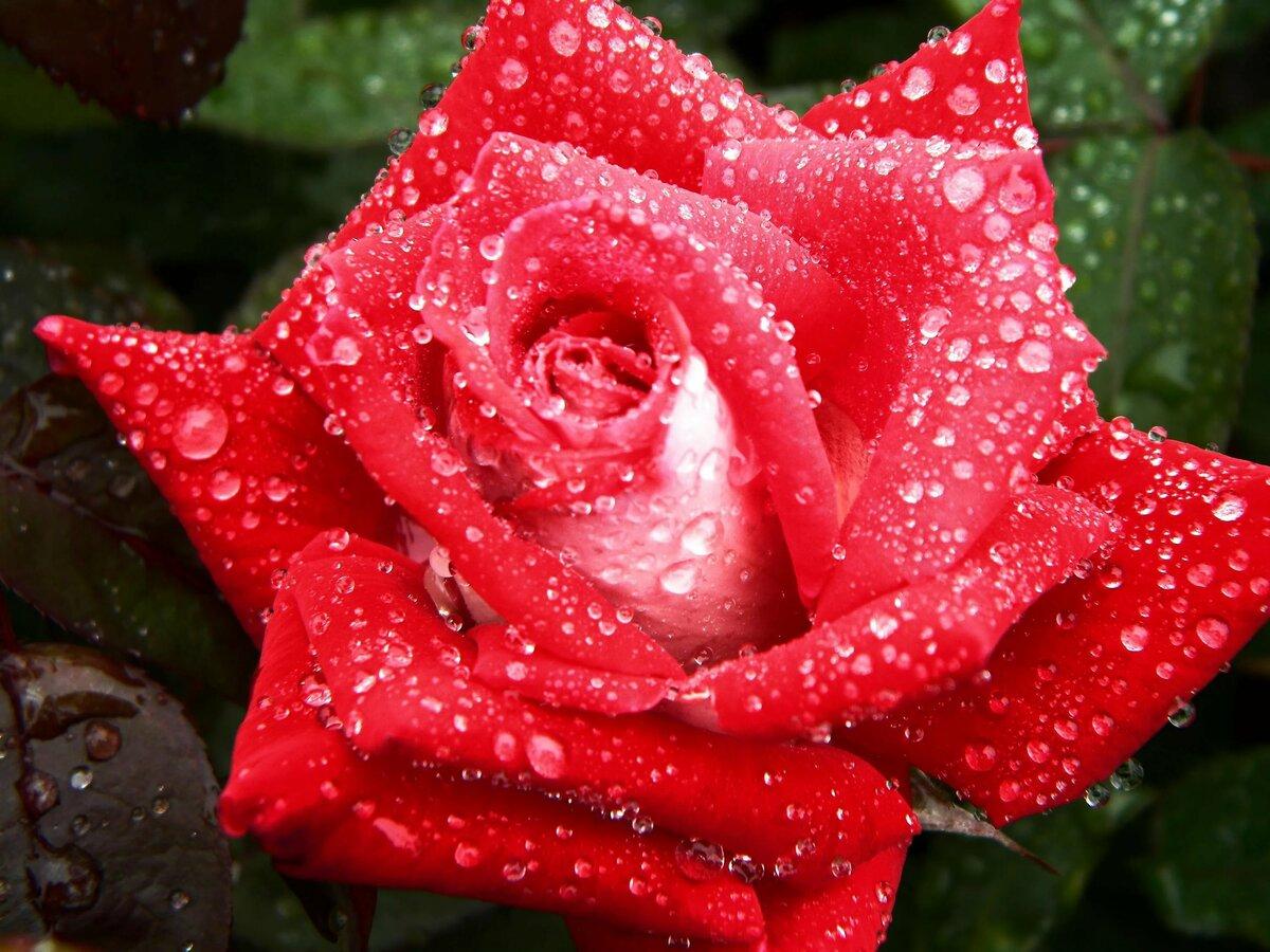 Красивый букет роз в росе