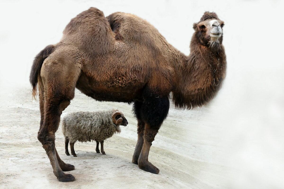 картинки верблюд баран мире гарри поттера