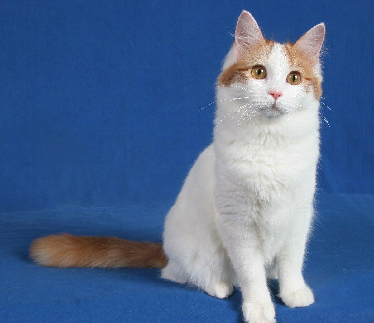 примерно такую турецкий ван порода кошек фото этого