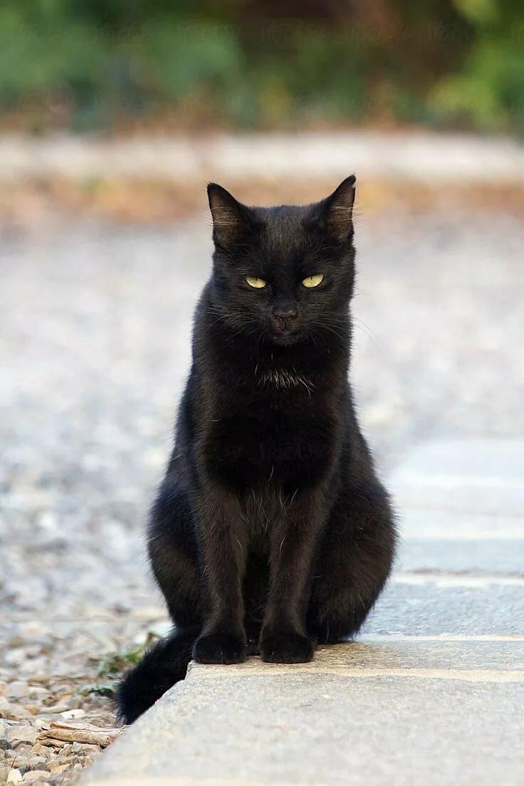 картинки с черной кошечкой особенность флорентийской