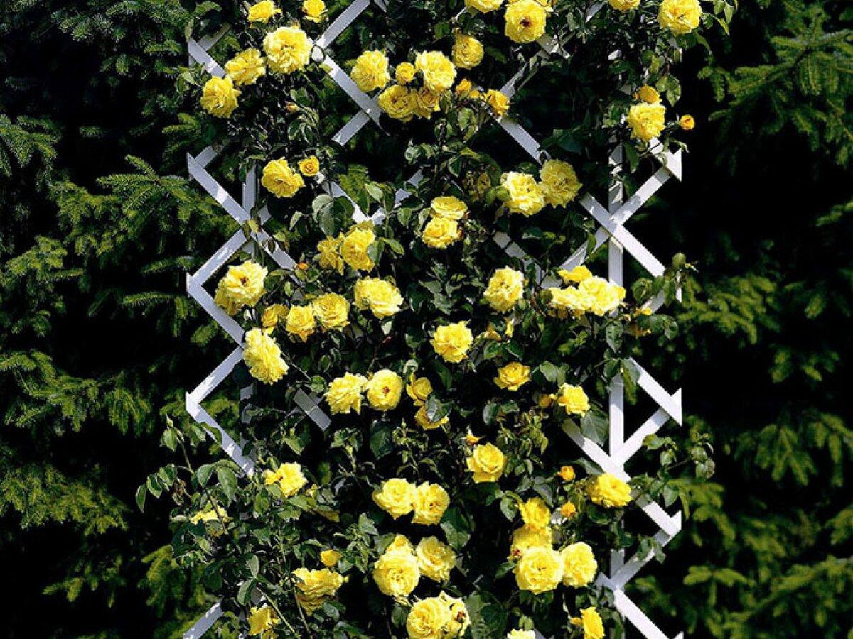 блики переливание вьющаяся роза желтого цвета фото красивых
