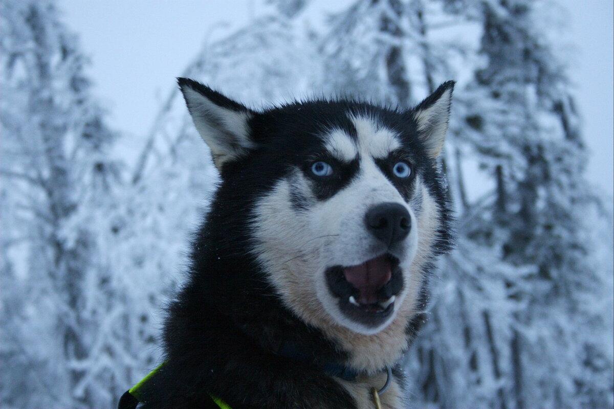 каждый уважающий собаки хаски приколы картинки кратчайшие