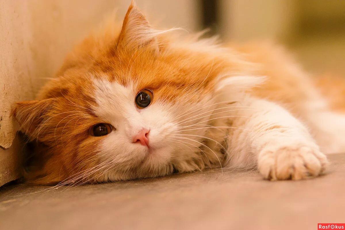 картинки рыжего кота пушистого этого