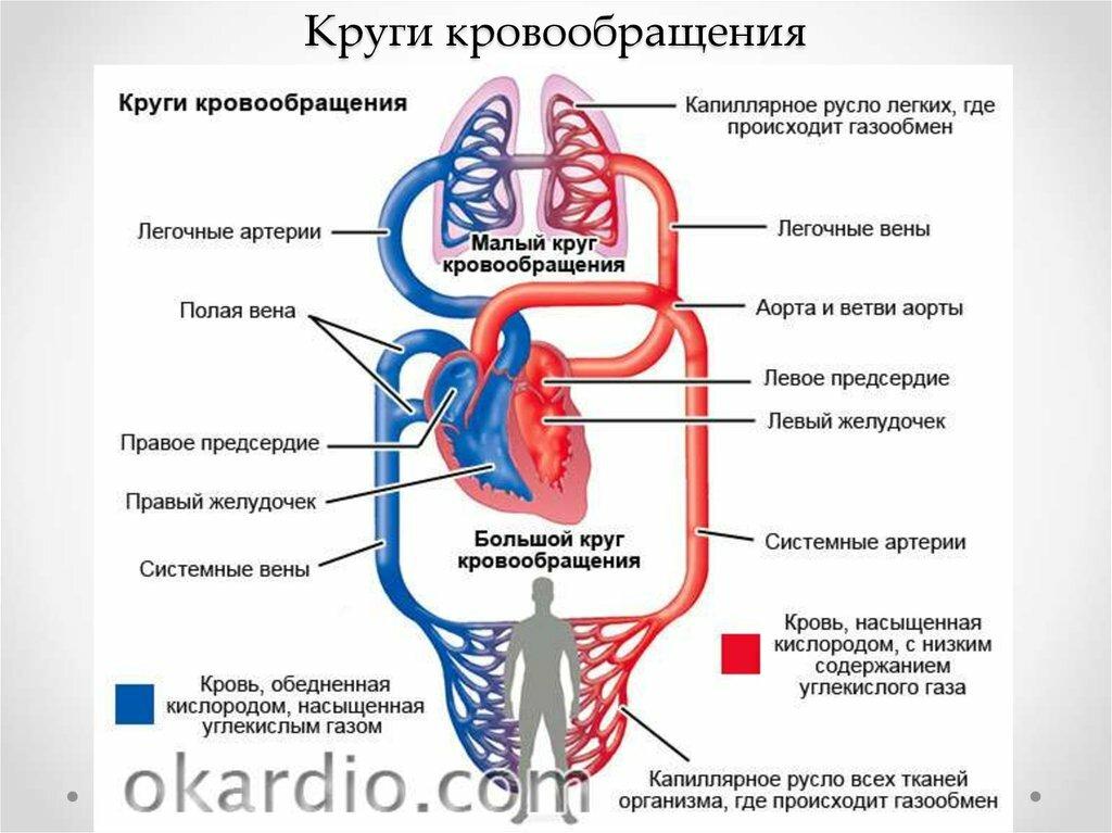 Кровообращение человека картинки сердце