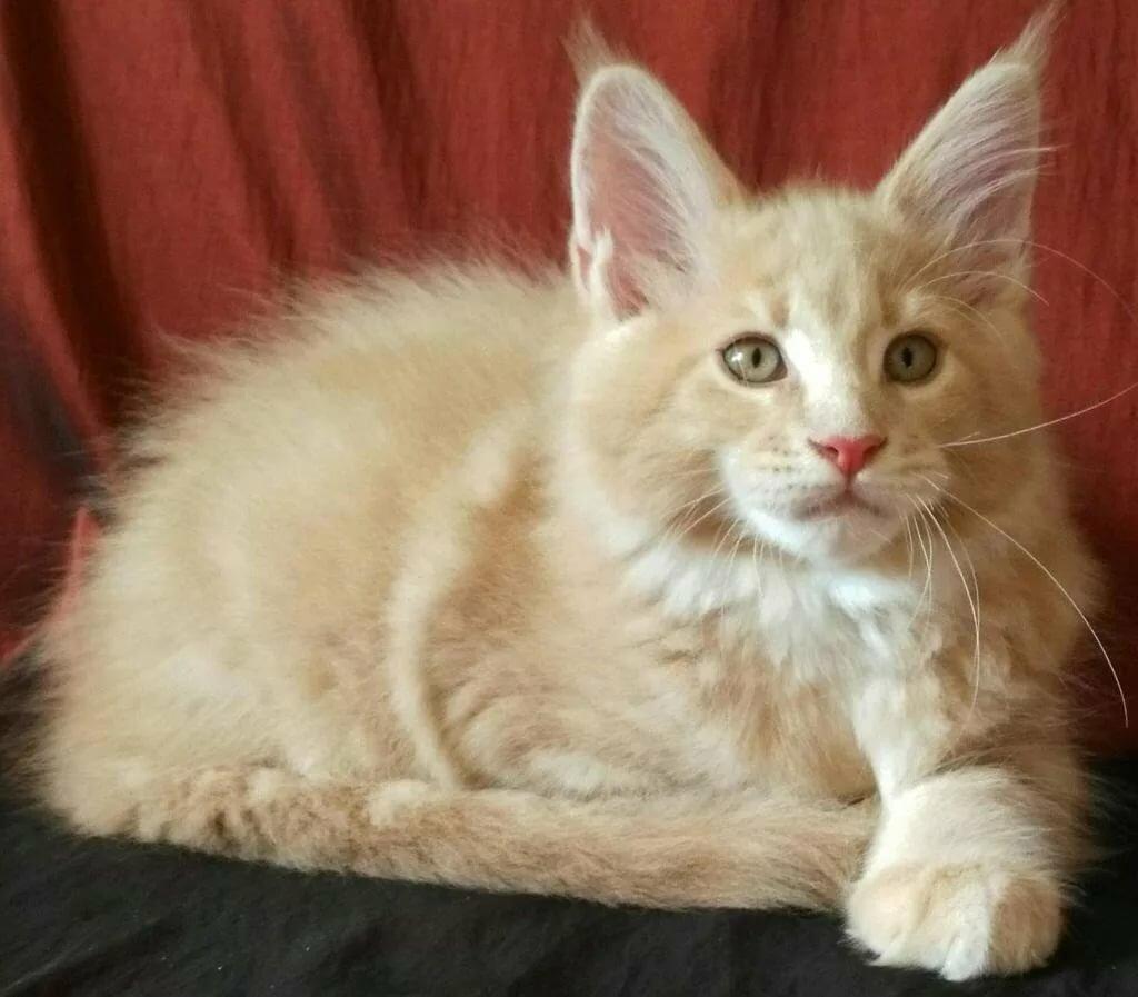Помесь мейн куна и сибирской кошки фото