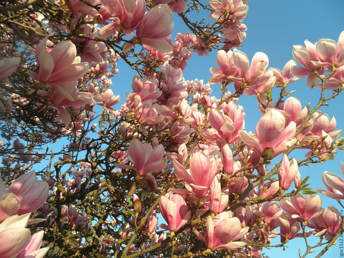 цветение магнолии в крыму фото вот