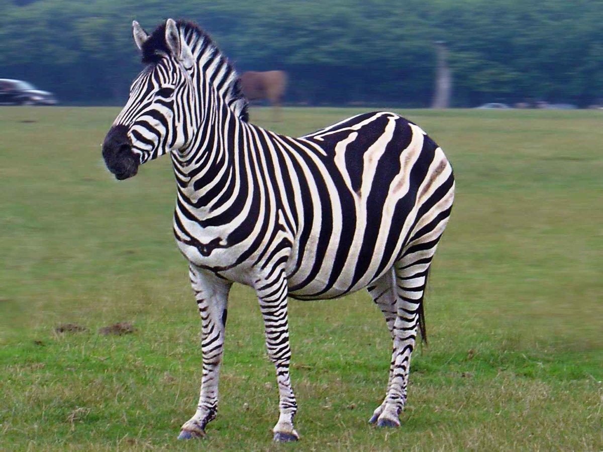 В картинках зебра