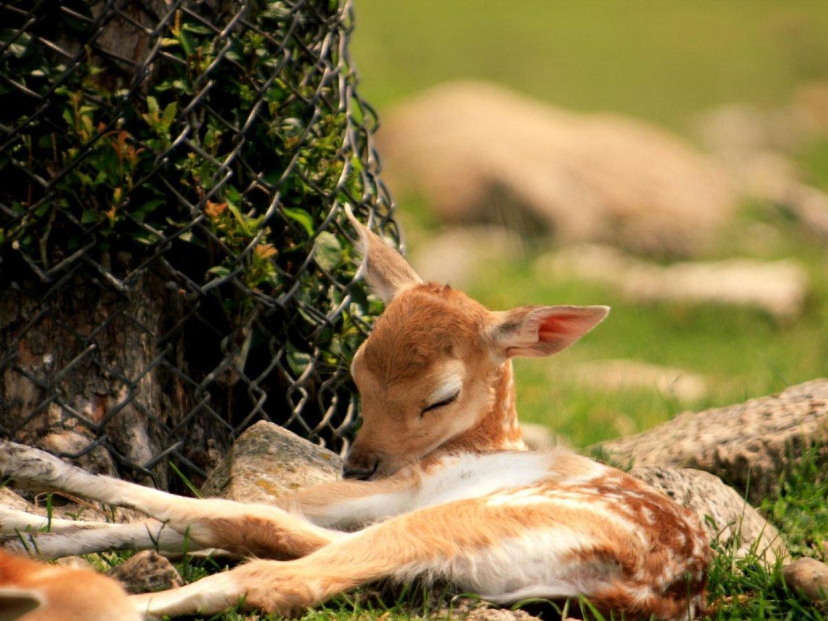 фото,оленята,живность.