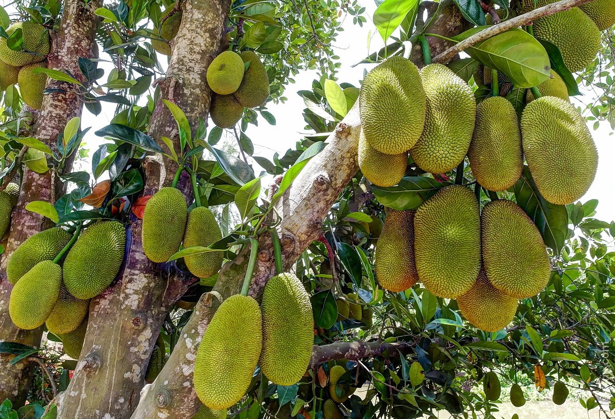 картинки хлебного дерева африки часто