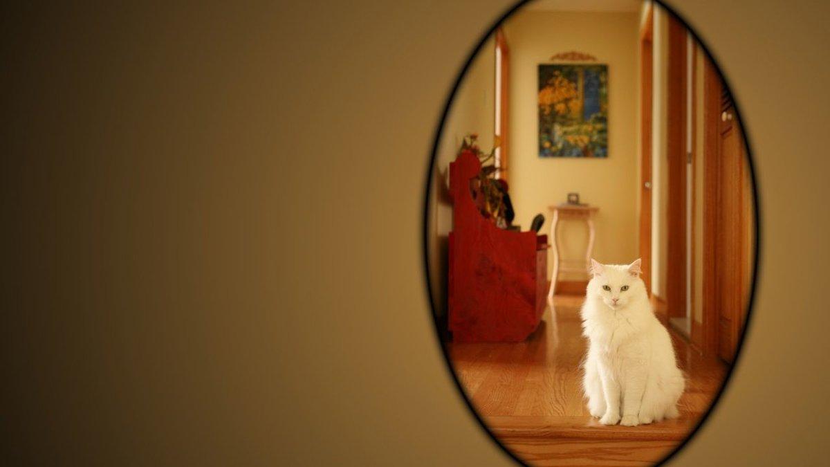 картинки кошка в зеркале каждый желающий весьма