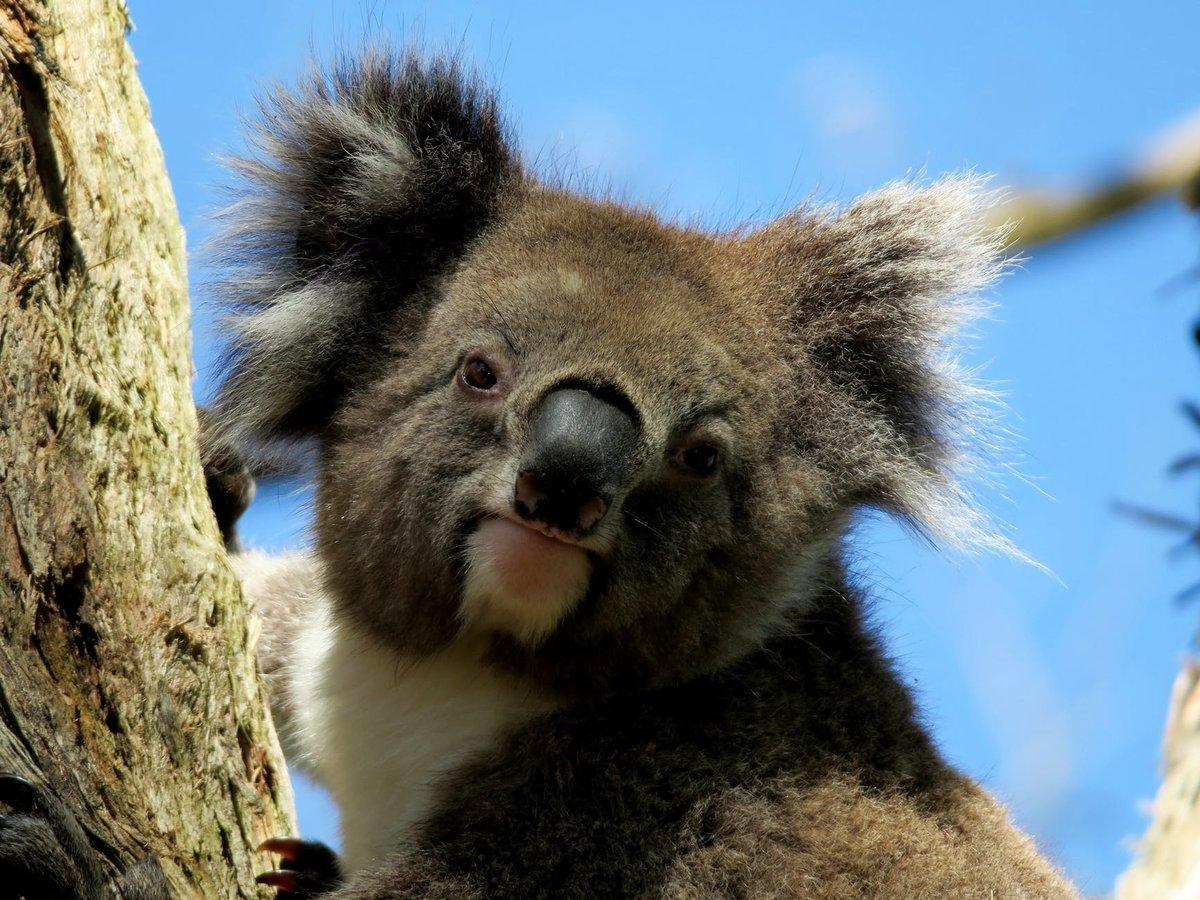 коала животное картинки советские годы