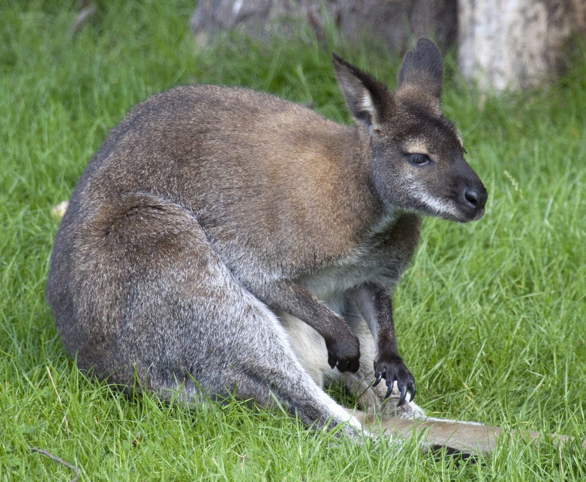 wallabies - HD 1200×986