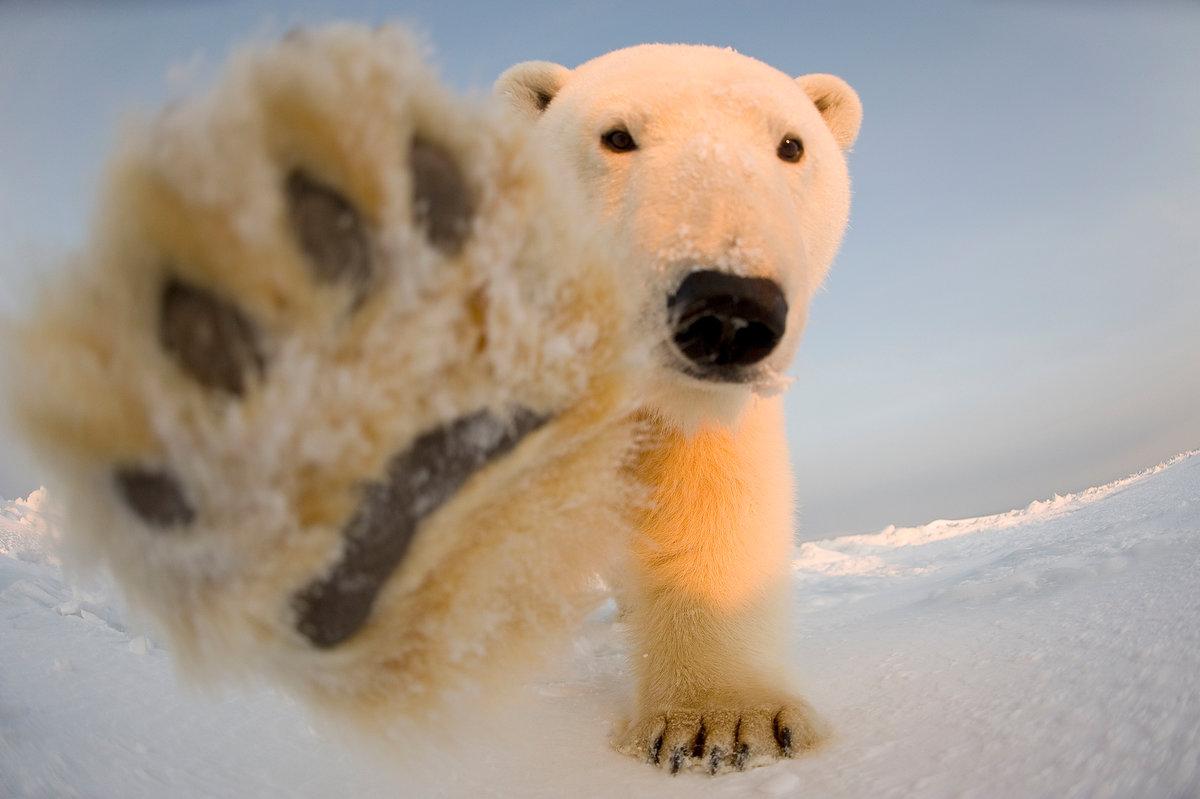 техника забавные фото белого медведя делаем