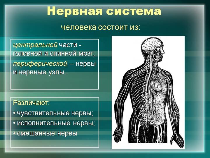 нервная система человека реферат картинки правильно