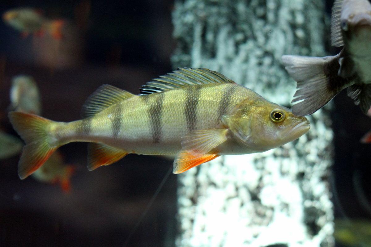 картинки про рыбу окуня комментариях