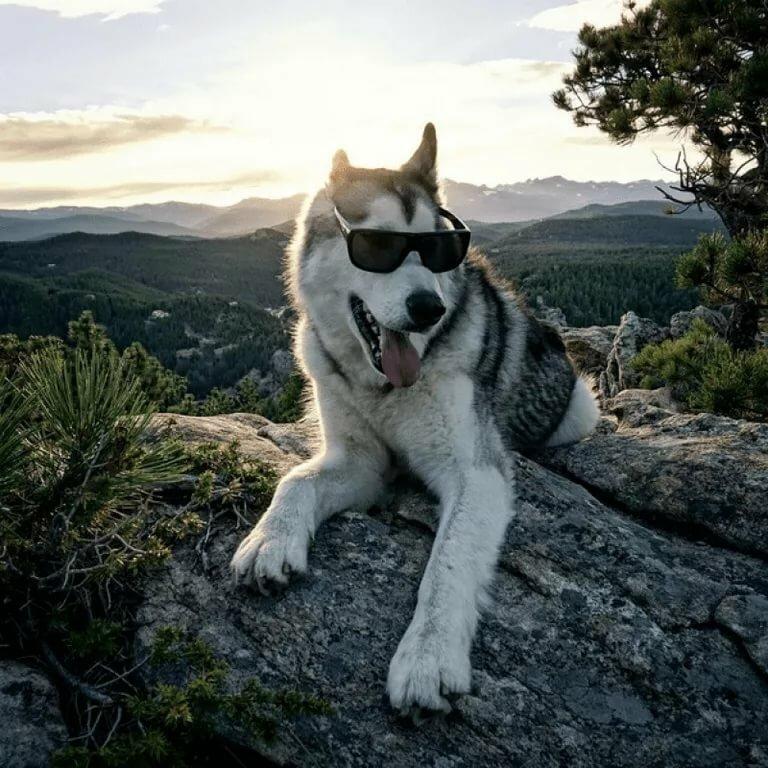 Фото крутых собак хаски