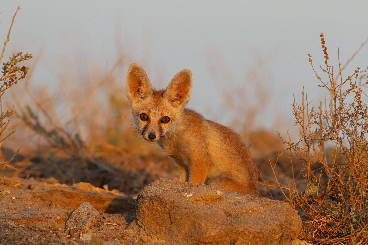 ревматизма картинки пустынных лисичек всем мире эти