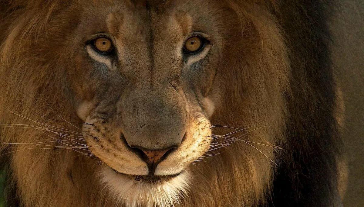 нас ещё прикольные картинки львов на аву больше