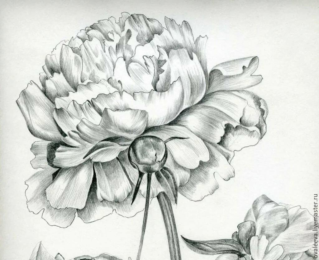 Картинки цветка пиона нарисовать