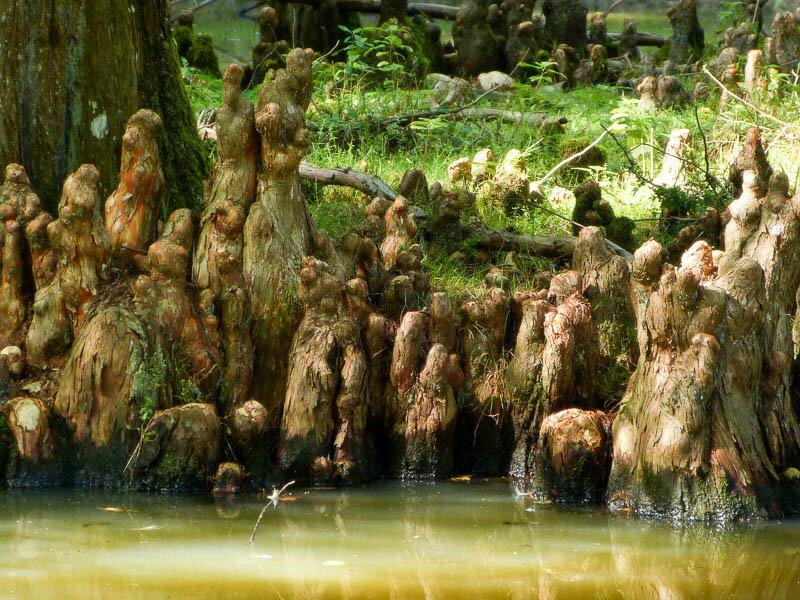 картинка кипарис болотный