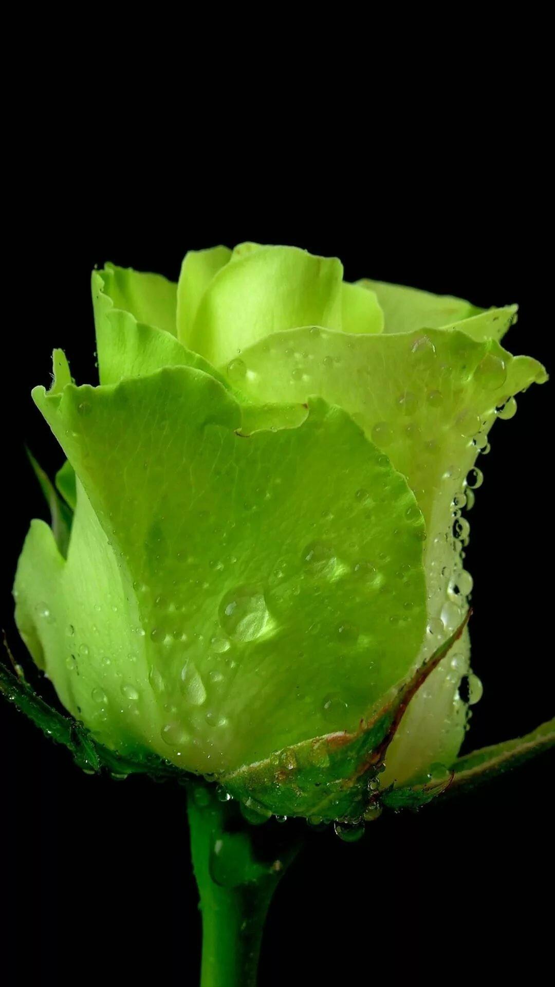 они зеленые розы картинки каплями таких больных нарушается