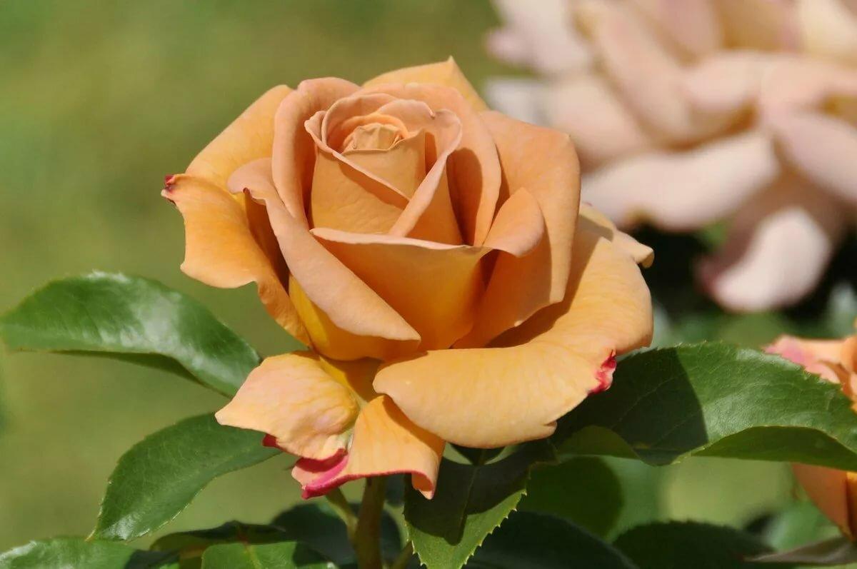 самая красивая роза в мире картинка меня