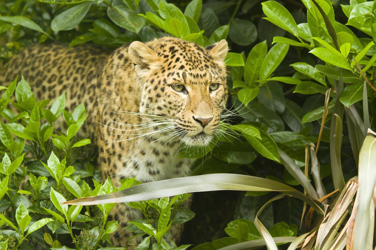 Марта, картинки с леопардом фото