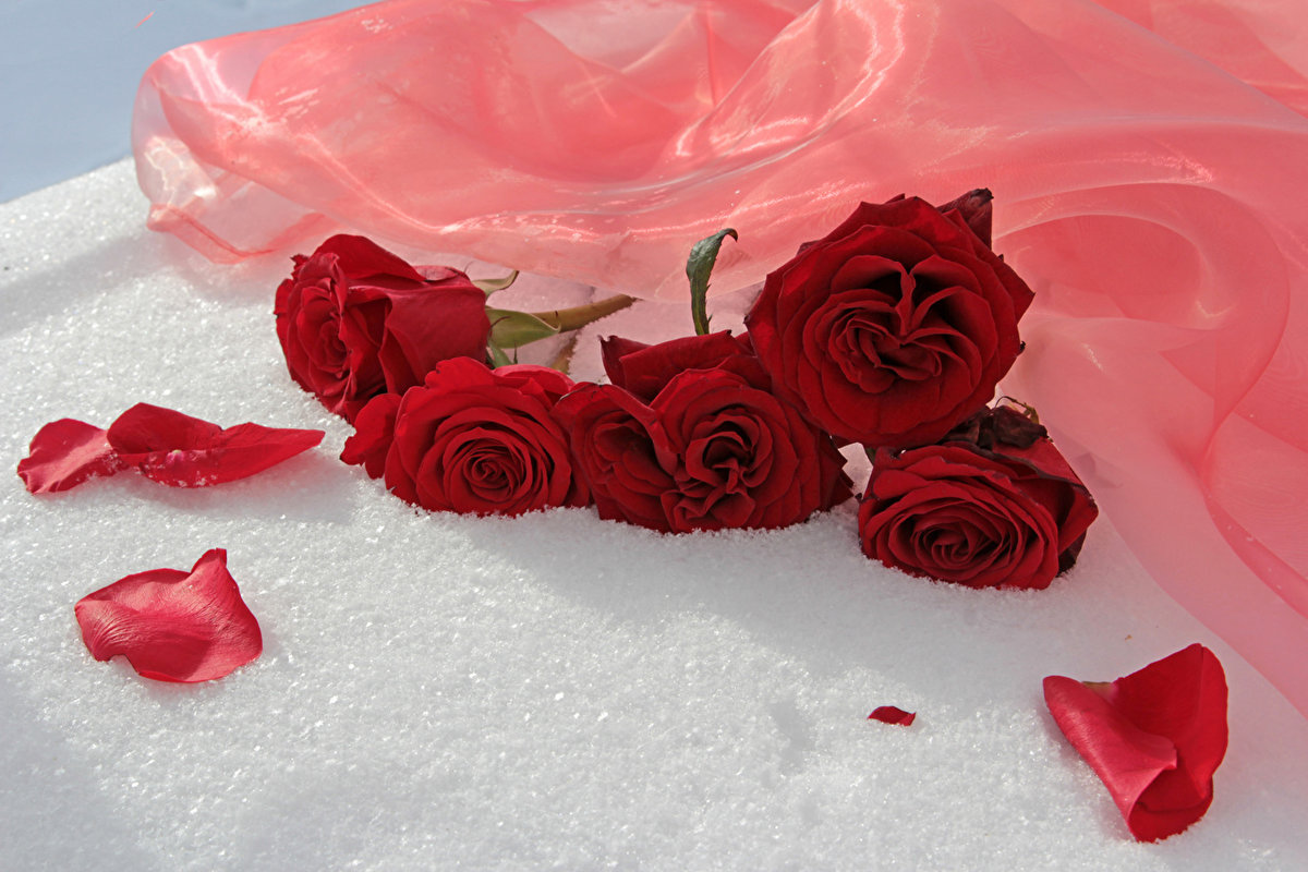 Картинки красные розы в снегу