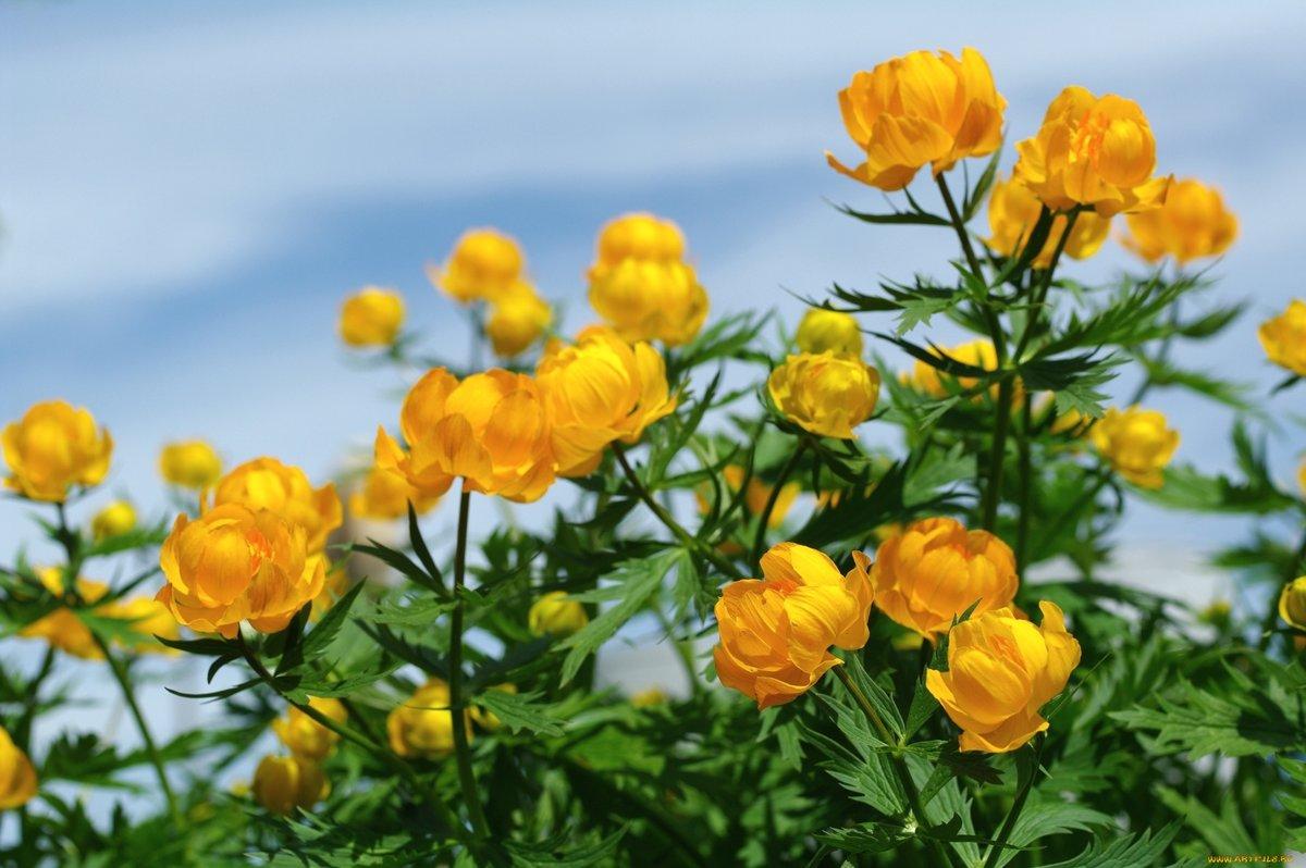 Цветы лютики картинка