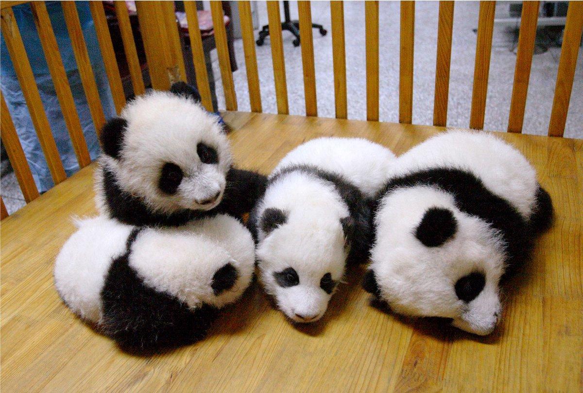 Панды малыши картинки