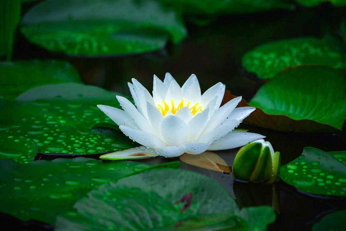 Картинки кувшинка белая водяная лилия