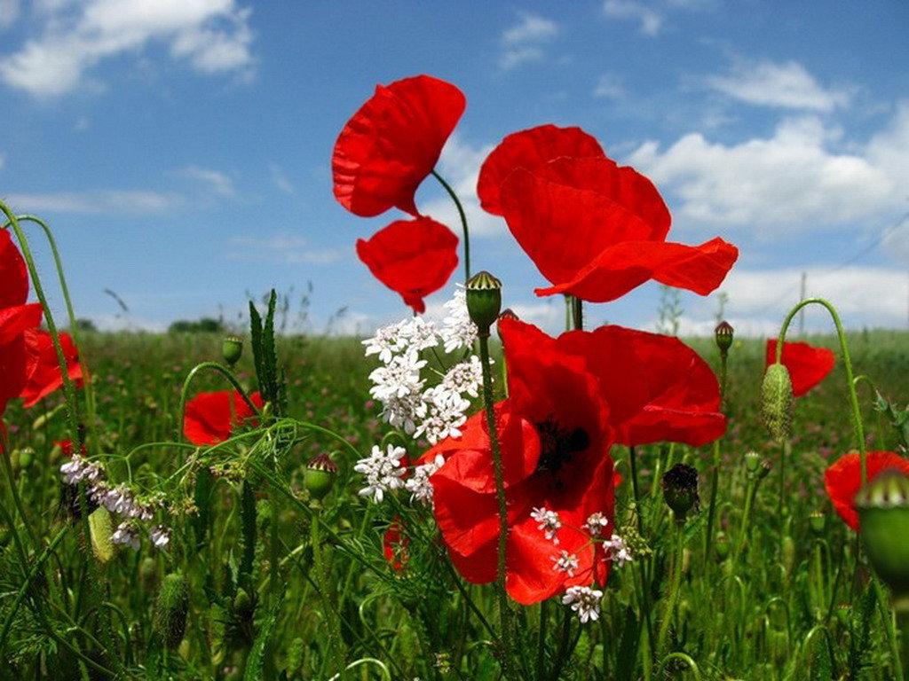 Самураем, картинки цветы красные маки