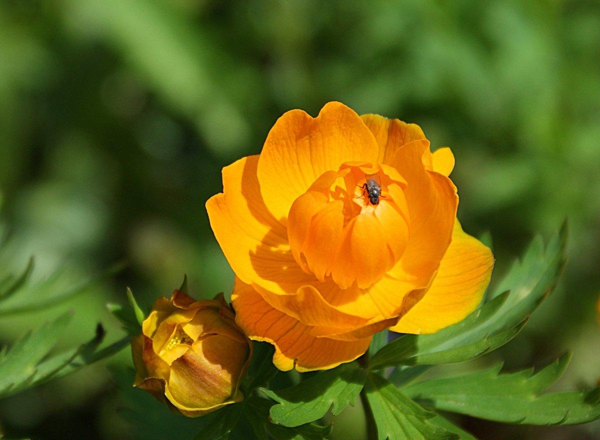 стала цветы жарки сибирские фото лоукост, цены все