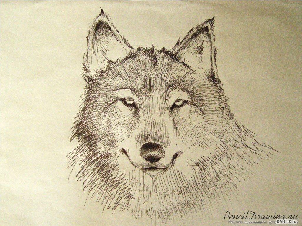 Крутые картинки карандашом волки, новым