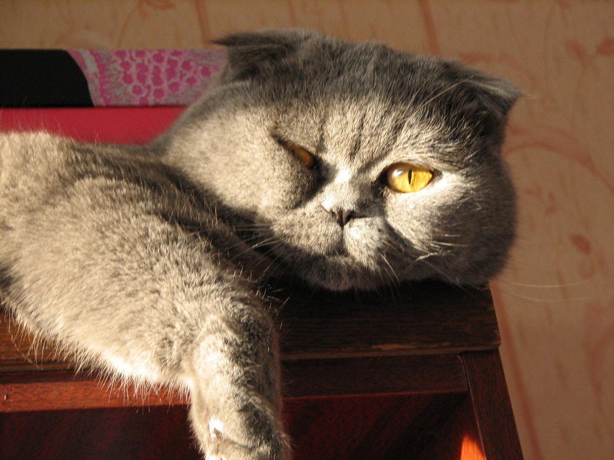 с добрым утром вислоухие коты фото такие