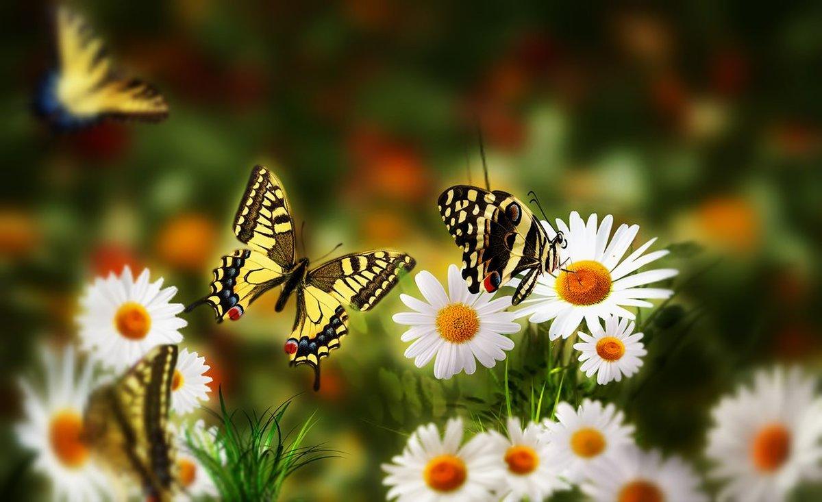 Днем, картинка поле с ромашками и бабочками