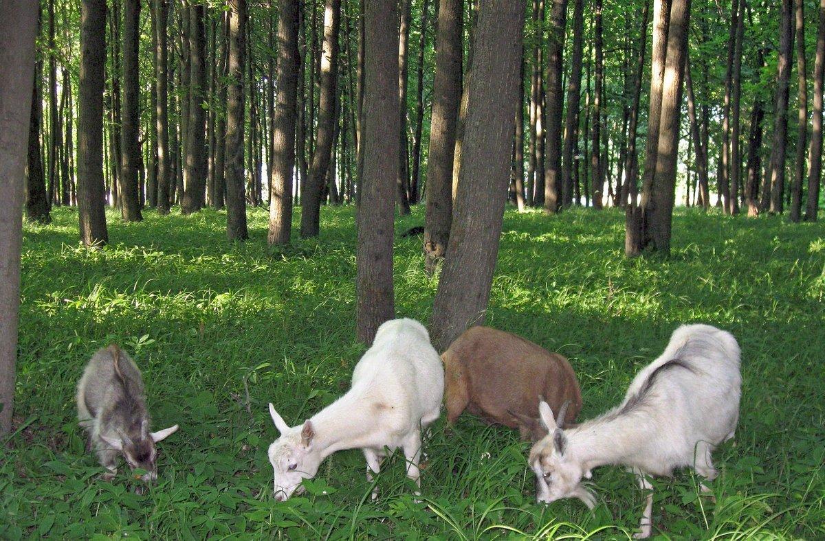 этом козы в лесу картинки его словам