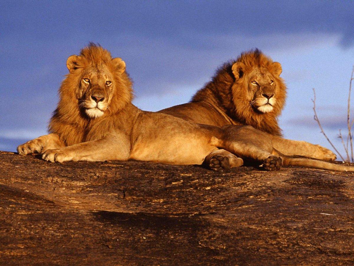 Смотреть про львов, любит когда на него смотрят как он дрочит смотреть онлайн
