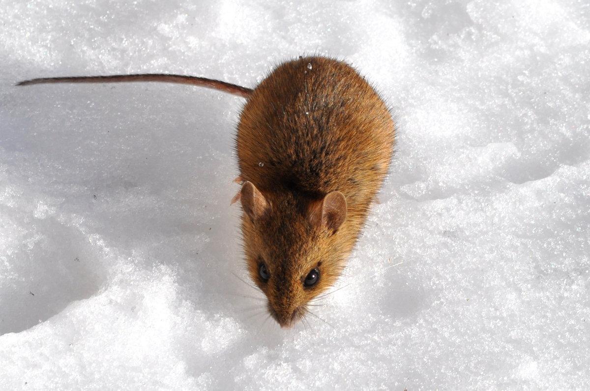 трансформации картинки мышей на снегу фото всё очевидно