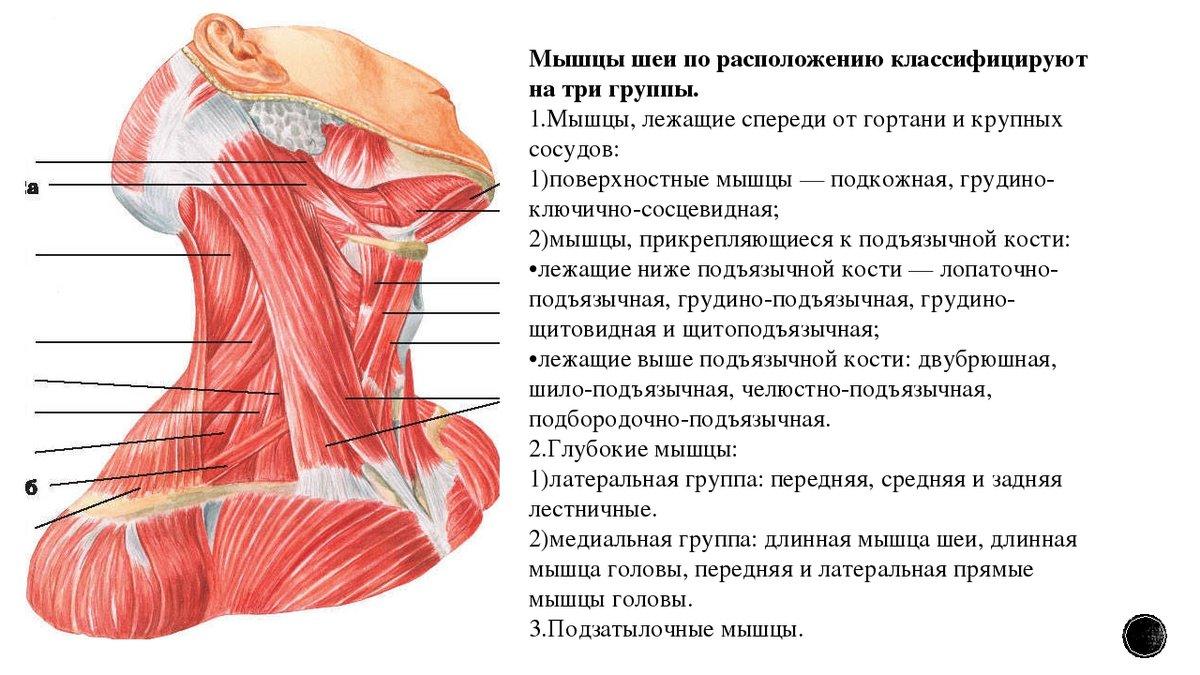 если линии строение шеи человека фото с описанием спереди разместил себя инстаграм