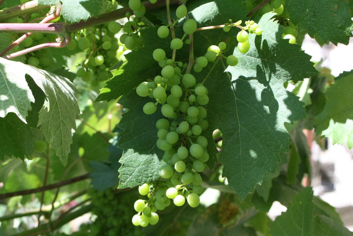 ждут шоу-программы, виноград болгария устойчивая описание сорта фото абстракция один самых